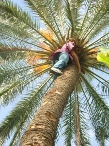 Student climbing a date palm